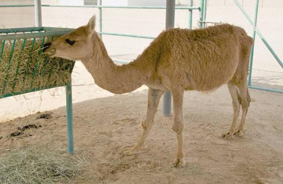Картинки по запросу Кама гибрид верблюда и ламы
